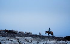 A Mongolian herder astride a horse herds sheep at dusk.