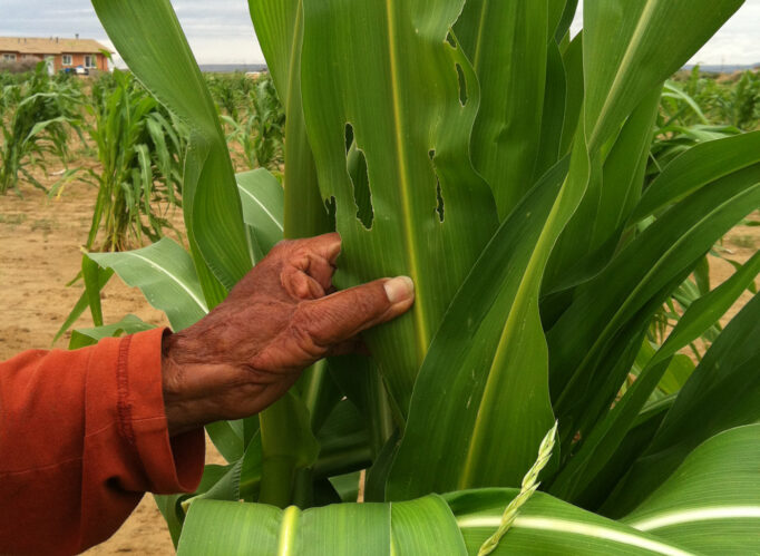 A Native person's hand holds a sheaf of corn.