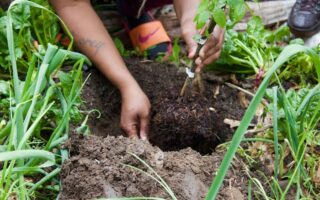 Hands dig into the soil to plant an edible shrub.