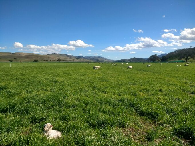Lambs graze in a green pasture.